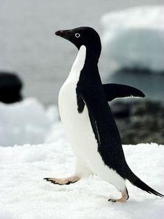 socially awkward penguin original